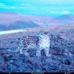 На Алтае сфотографировали невероятно красивого котенка снежного барса