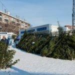 Зеленые красавицы: где купить елку наНовый год вБарнауле исколько это стоит