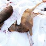 Убили 17 косуль браконьеры на Алтае