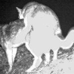 Волки, занимающиеся любовью, попали в фотоловушку на Алтае