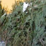 В Барнауле заработали первые пункты сбора новогодних елок