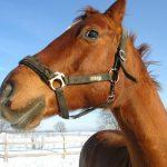 Барнаульских лошадей будут кормить новогодними ёлками