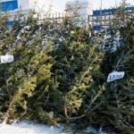 Куда можно сдать живые елки вБарнауле