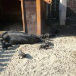 В барнаульском зоопарке родились поросятки (видео)