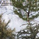 Барнаульцам предлагают сдать новогодние ели на корм лошадям