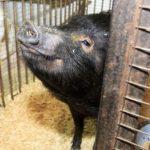 ВБарнаульском зоопарке под Новый год родилось 8 поросят