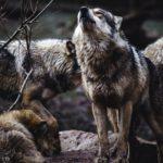 Жителям Алтайского края поступают сообщения о приближении стаи из тысячи волков
