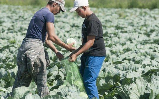 Хозяйство бизнесменов Ракшиных решило дешевле других продавать людям овощи