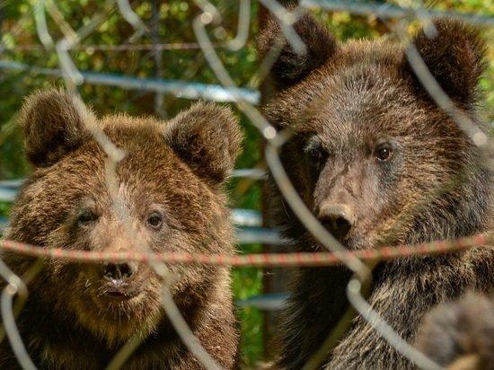 Медвежат Мишку, Машку и Тепу выпустили на волю в Алтайском заповеднике