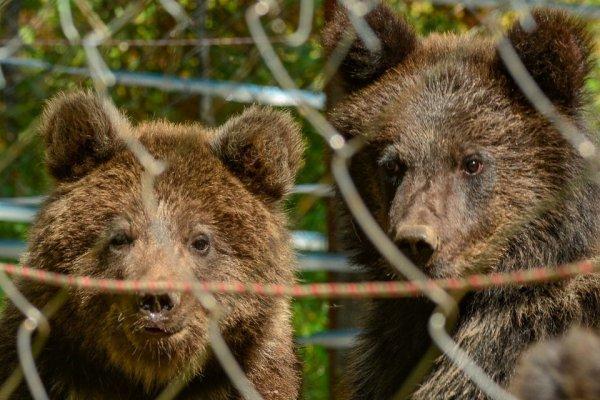Мишка, Машка и Тепа: в алтайском заповеднике выпустили первых воспитанников медвежьего «детского дома»