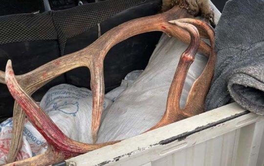 На Алтае общественники задержали браконьера, застрелившего дикого марала