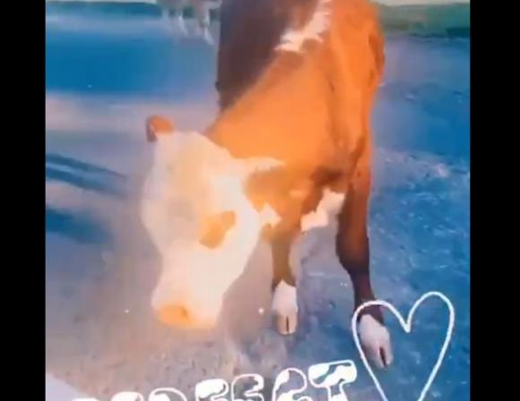 На Алтае за дорого продают теленка, который попал в сторисы Киркорова