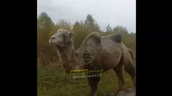 На алтайской дороге засняли гуляющего верблюда