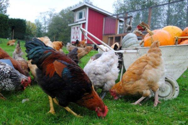 Россиянам запретили разводить животных и птиц на дачах