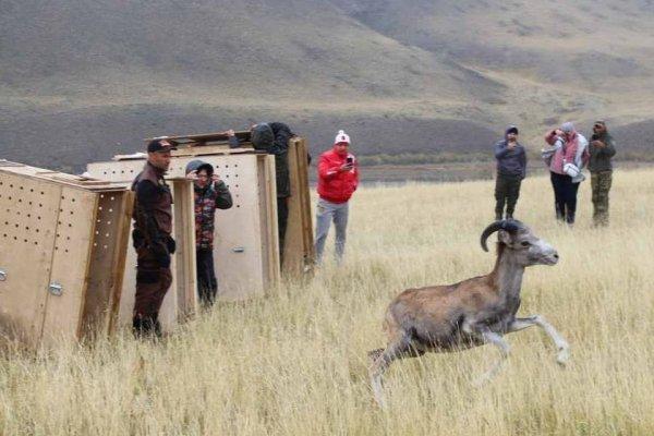 В алтайском нацпарке выпустили редких горных баранов из зоопарка