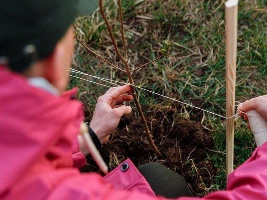 В Барнауле высадят более тысячи кустарников и несколько сотен деревьев