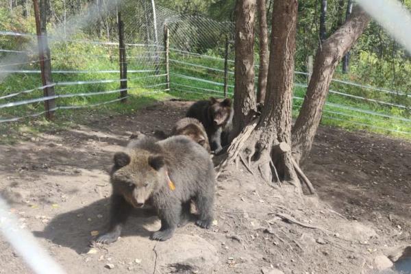 На Алтае выпущенный в дикую природу медвежонок вышел к охотничьей избушке