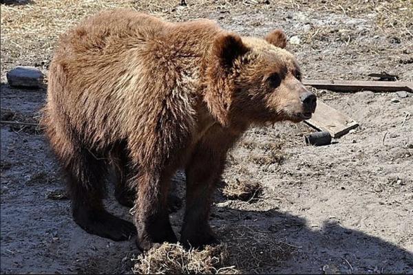 Первыми не нападают: на Алтае медведи стали выходить к людям