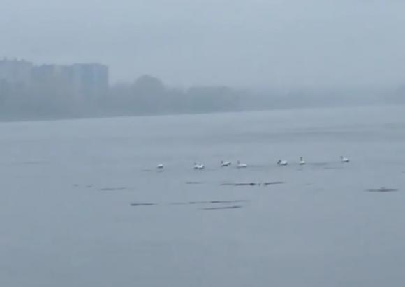 В Алтайский край прилетели первые лебеди